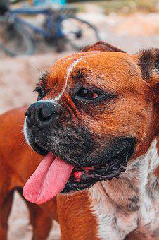 Boxer, Dog, Animal, Portrait, Cute, Purebred, Pets