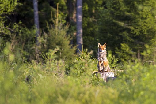 Red Fox, Vulpes Vulpes, Animal, Nature, Mammal