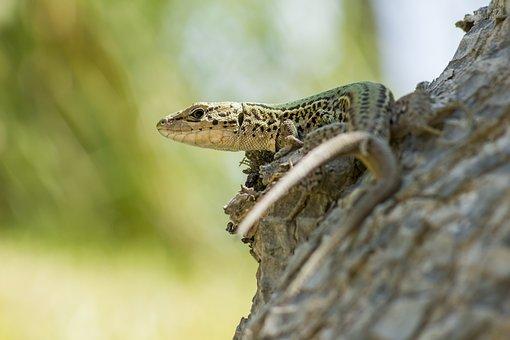 Lizards, Reptiles, Tree, Macro, Portrait, Zakynthos