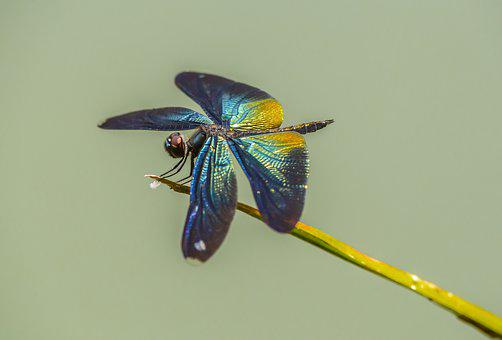 Greater Blue-wing, Rhyothemis Plutonia, Thailand