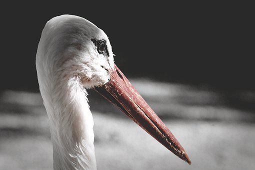 Stork, Birds, Plumage, Nature, Animals, Rattle Stork
