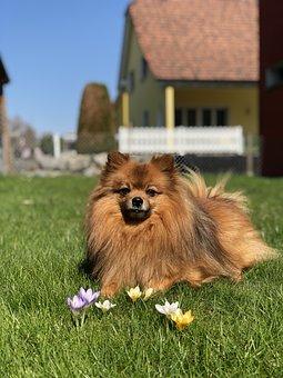 Dog, Meadow, Kleinspitz, Purebred Dog, Flowers, Yellow