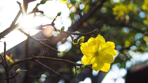 Tết, Holiday, Flower, Vietnam, Yellow