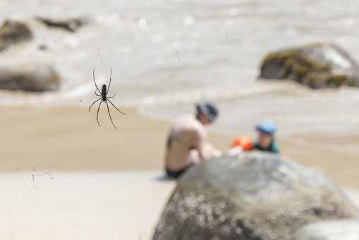 Nephila Maculata, Beach, Giant Wood Spider, Action