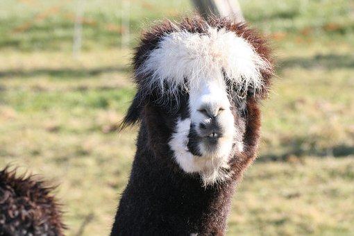 Alpaca, Lama, Animal, Head, Wool, Mammal, Peru, Hair