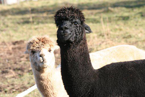 Alpaca, Lama, Animal, Head, Wool, Mammal, Peru, Hair