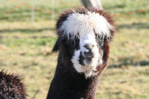 Alpaca, Lama, Animal, Head, Wool, Mammal
