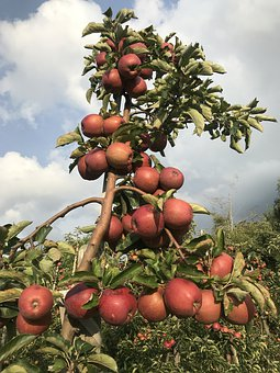 Apple, Apple Cultivation, Bioapfelhof, Old Country