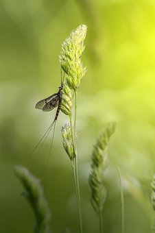 Mayfly, Macro, Insect, Unhygienic, Beauty In Nature