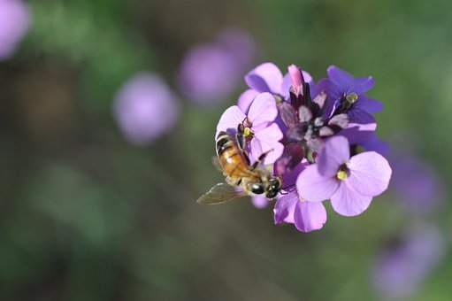 Bee, Blossom, Bloom, Purple, Nature, Garden, Insect