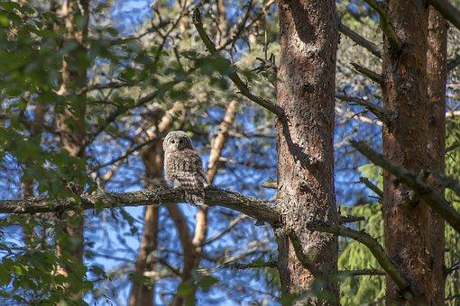 Ural, Owl, Strix, Uralensis, Bird, Raptor, Tree, Nature