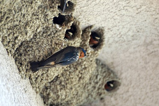 Swallows, Birds, Nature, Nests, Cliff Swallows
