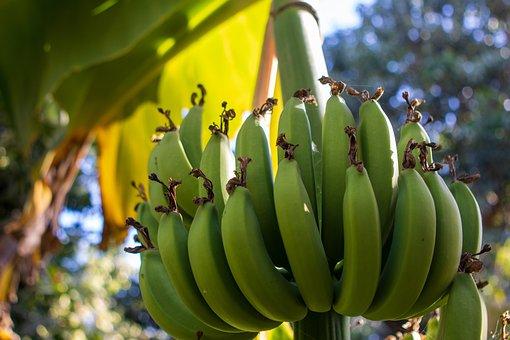 Bananas, Bunch, Tree, Green, Banana