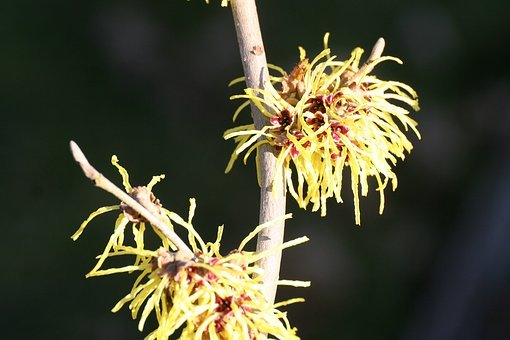 Witch Hazel, Bush, Branch, Flowers