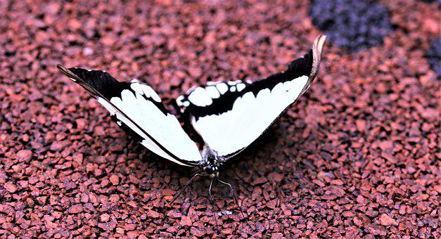 Butterfly, Flying Insect, Insect, Wings