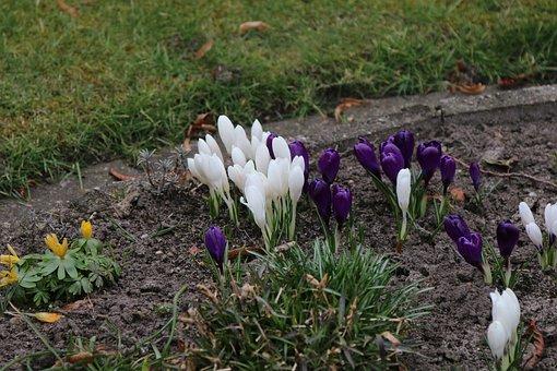 Nature, Early Bloomer, Crocus, Spring Crocus