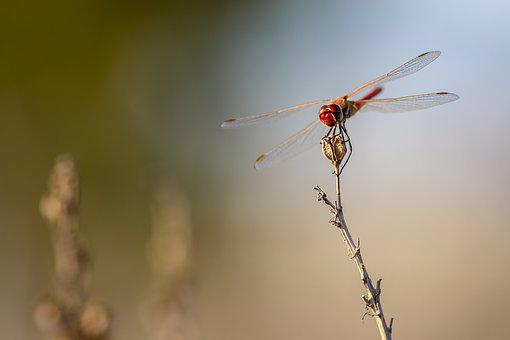 Insect, Nature, Dragonfly, Cyprus, Close-up, Animal