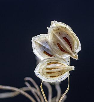 Hogweed, Seeds, Wildflower, Dried, Dry