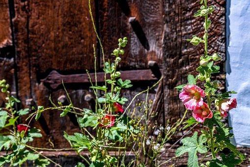 Stock Rose, Flower, Plant, Blossom, Bloom, Flora, Pink