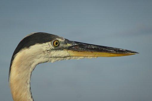 Florida, Heron, Bird, Water, Animal World, Nature, Bill