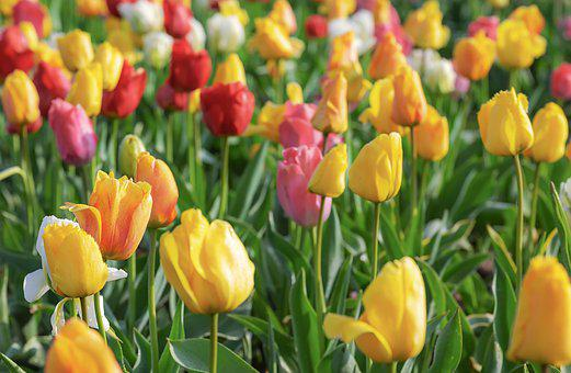 Tulips, Colorful, Flowers, Tulip, Yellow, Pink, White