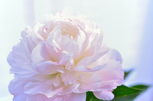 Flowers, Plant, White, Pink, Peony