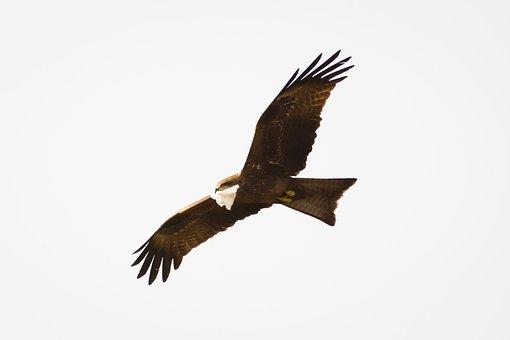 Bird, Flying, Nature, Hummingbird, Eagle, Freedom, Owl
