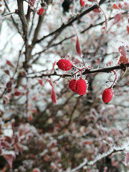 Winter, Rosehip, Frost, Plant, Freeze