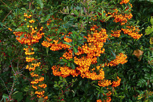 Nature, Sea Buckthorn, Bush, Fruits, Orange, Berries