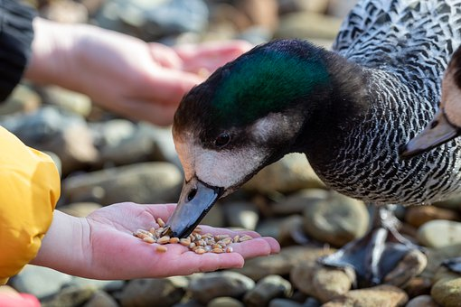 Feeding, Hand, Duck, Grain, Bird