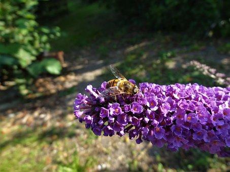 Bee, Honeybee, Buddleia, Nectar, Pollen