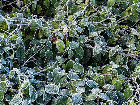 Frost, Leaves, Winter, Hoarfrost, Nature, Cold, Frozen