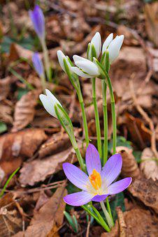 Crocus, Snowdrop, Leaves, Early Bloomer, Winter