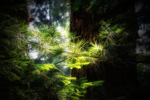 Branch, Pine, Forest, Nature, Light