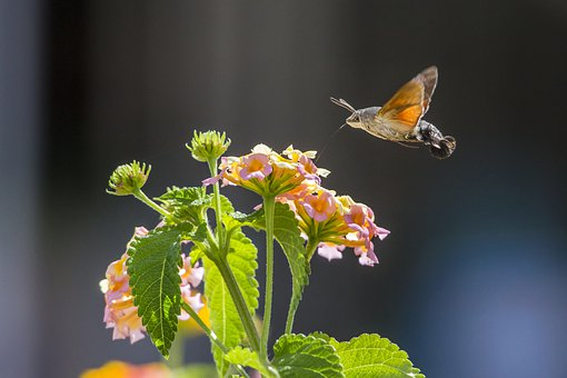 Hummingbird Hawkmoths, Macroglossum Stellaturum