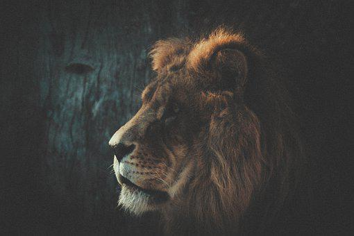 Lion, Carnivorous, Fierce, Africa, Nature, Animal