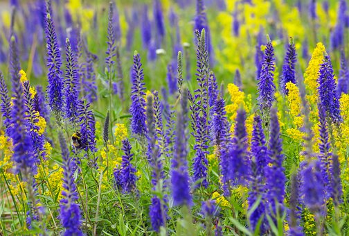 Blue, Yellow, Flowers, Bee, Grass, Land, Nature, Color