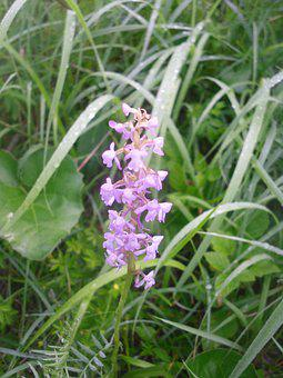 Orchid, Meadow, Flower, Plant, Nature