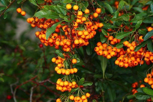 Nature, Sea Buckthorn, Bush, Berries