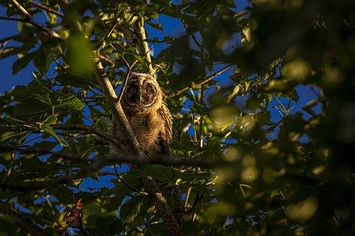 Long-Eared Owl, Asio Otus, Owl, Wildlife
