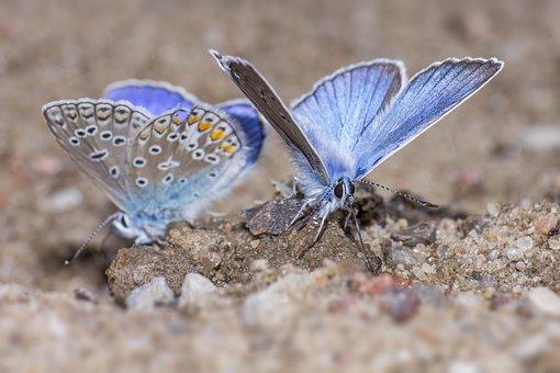 Silver-studded Blue, Plebejus Argus, Pair Butterfly