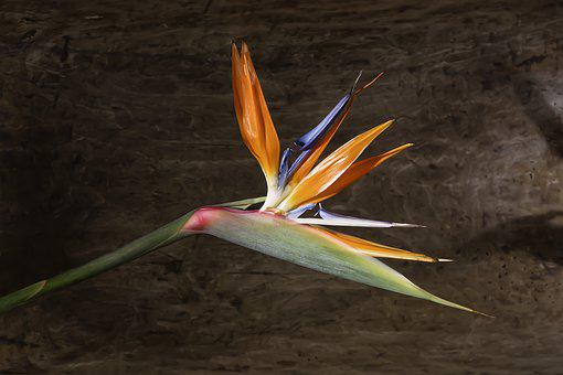 Strelitie, Bird Of Paradise Flower, Parrot Flower