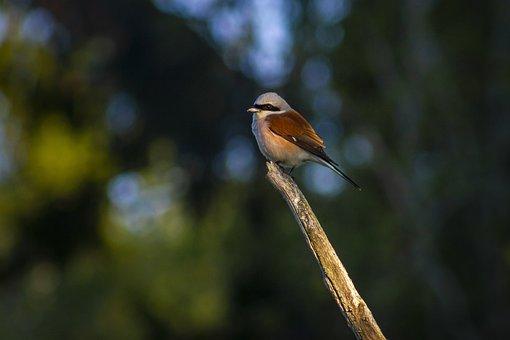 Lanius Collurio, Red-backed Shrike, Bird, Nature