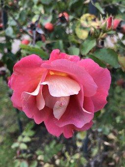 Rose, Wild Rose, Pink, Blossom, Bloom, Roses, Bush