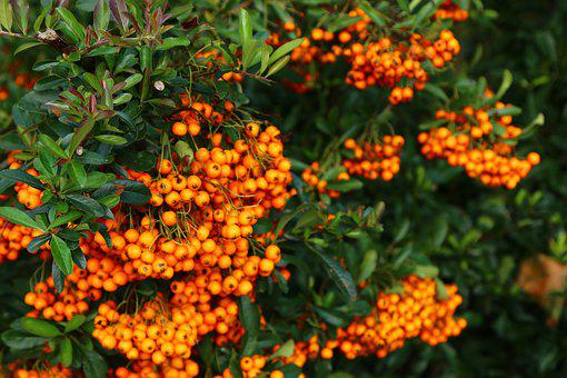 Nature, Sea Buckthorn, Fruits, Berries