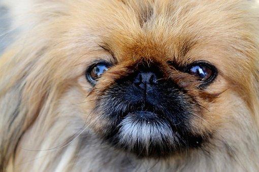 Dog, Maja, Small, Cute, Mini