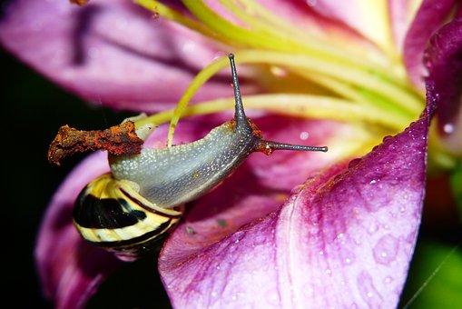 Wstężyk Huntsman, Snail, Lily, Drops