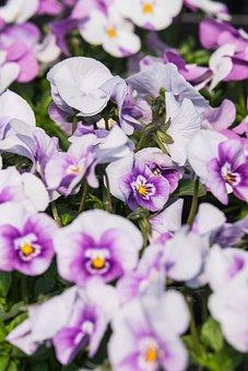 Violet, Flowers, Bloom, Spring, Pansy, Blossom, Bloom
