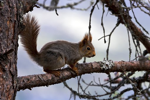 The Nature Of The, Squirrel, Pine, Branch, Summer
