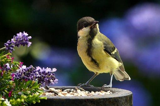 Animal, Bird, Tit, Parus Major, Songbird, Hungry